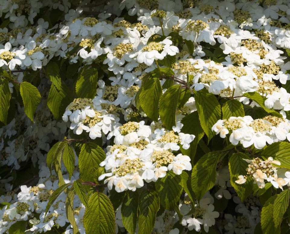 Viburnums Flowering Shrubs For The Landscape And Birds