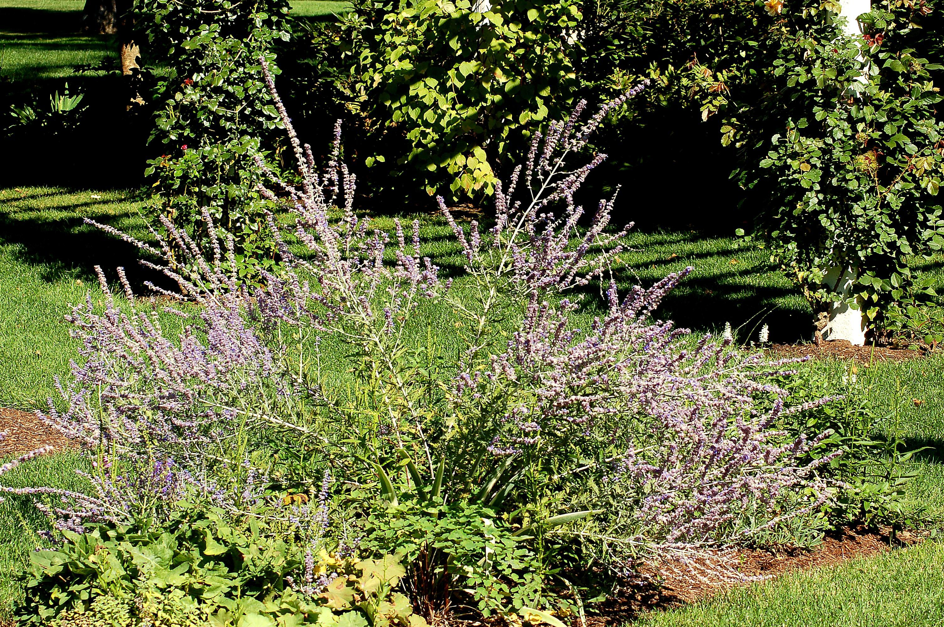 Russian Sage Plants Pruning and Planting Tips