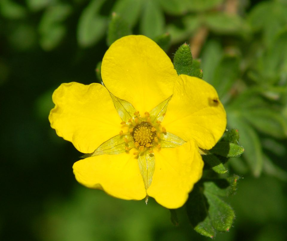 Yellow flowers pictures for garden inspiration yellow potentilla image is most common but white types also exist its mightylinksfo