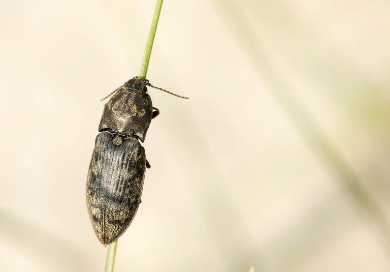 Çim kökünde böcek tıklayın.
