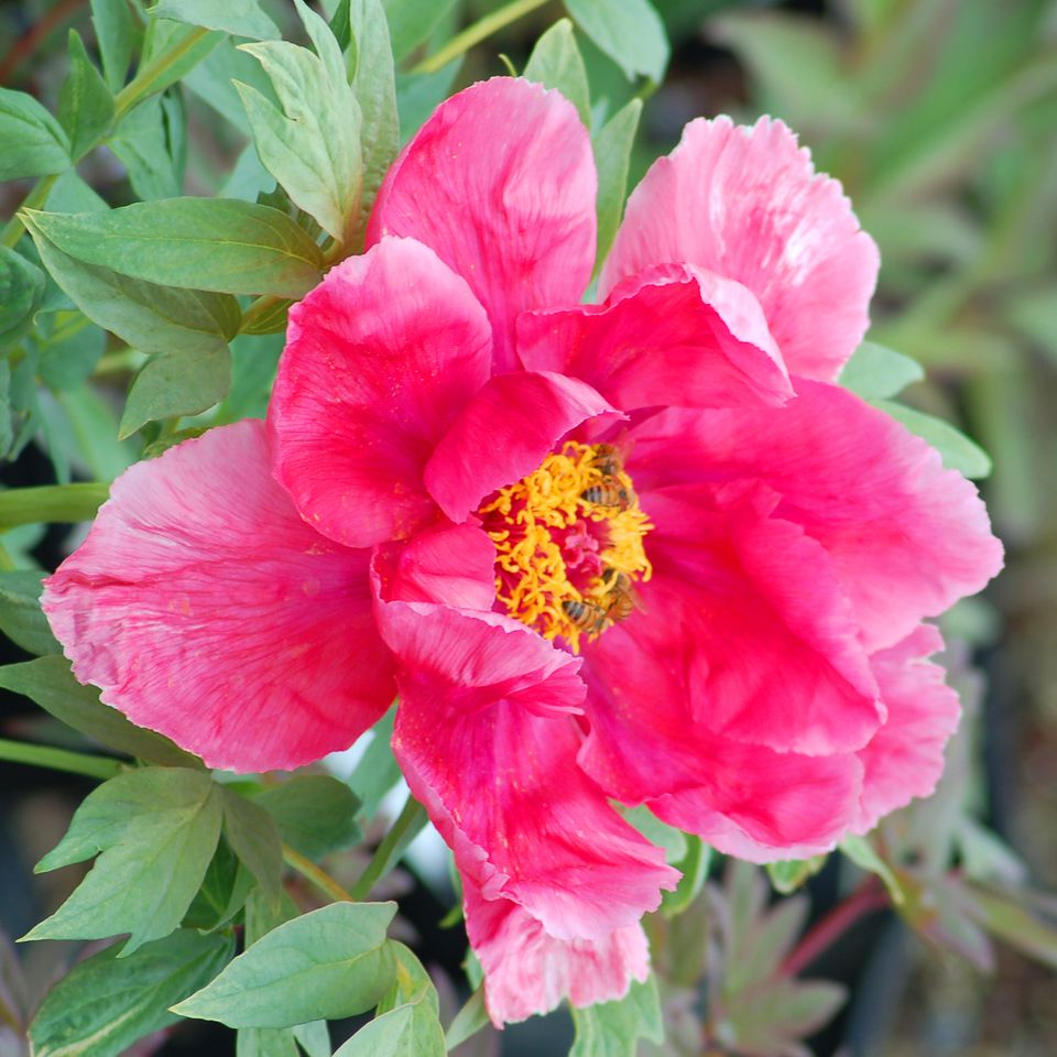 Photo: tree peony. These lovely plants are considered sub-shrubs.