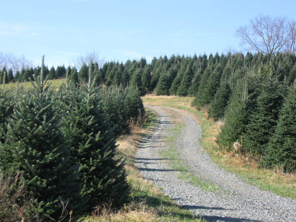 Where To Choose And Cut Your Own Christmas Tree Near