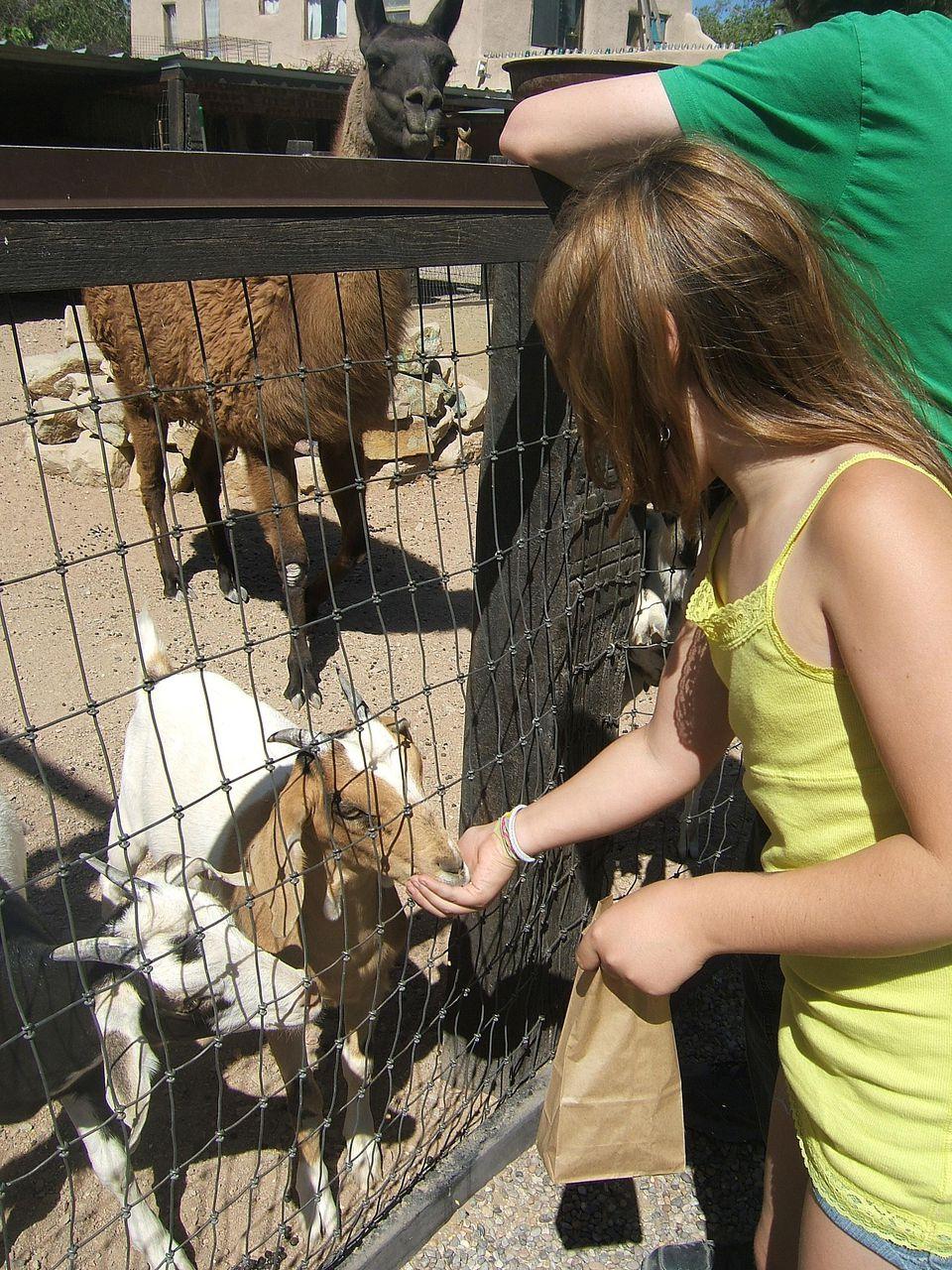 Zoo Goat