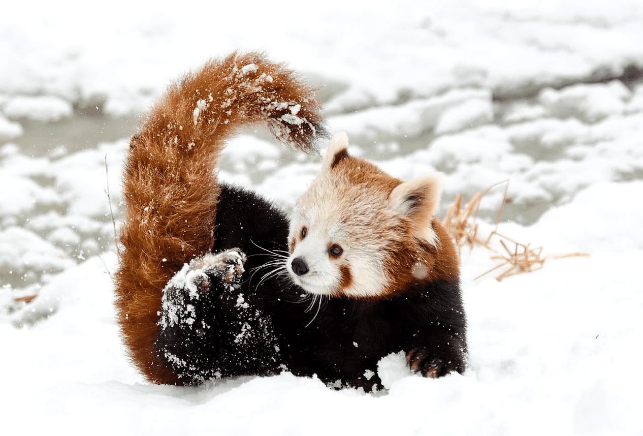 animals winter snow excited panda