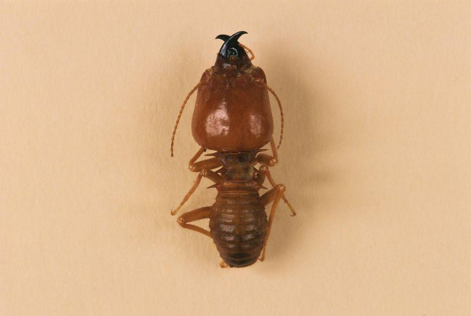 Termite soldier