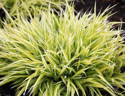 Best varieties of ornamental grass low care picks for Spiky ornamental grass
