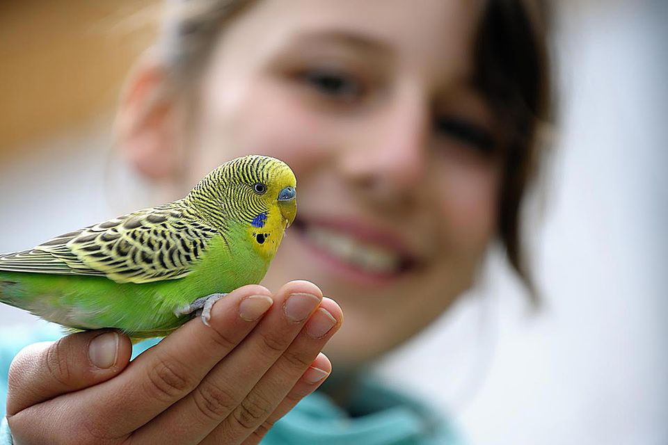 Yellow-green budgie sitting on a girls hand against blurred background. Focus on the bird.