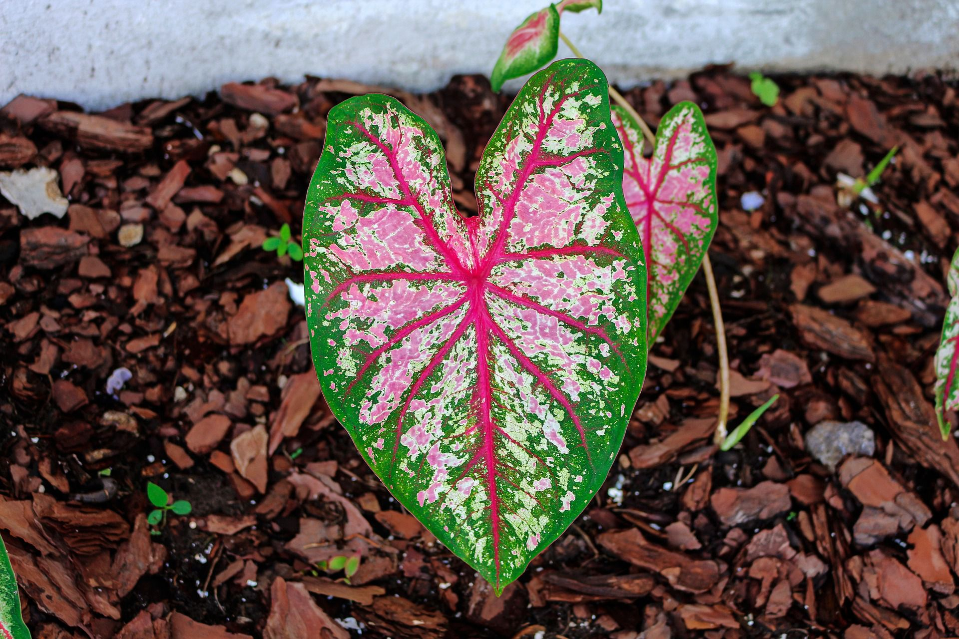 How To Grow Caladium As A Houseplant