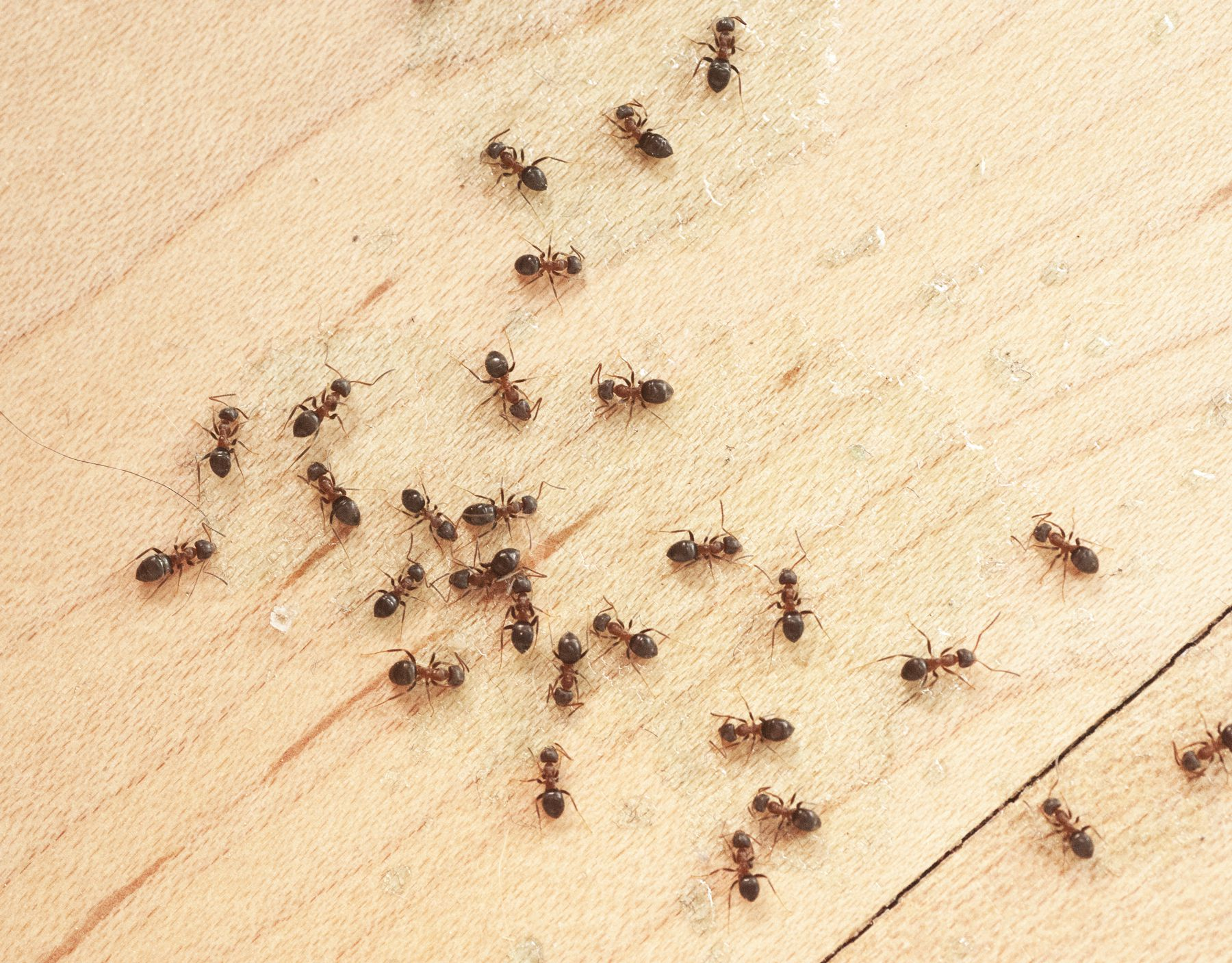 get rid of ants mice flies and spiders