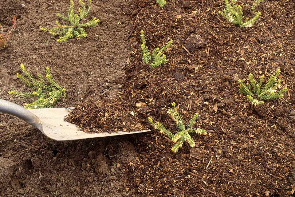 Using spade to apply loose mulch around Erica carnea in flowerbed
