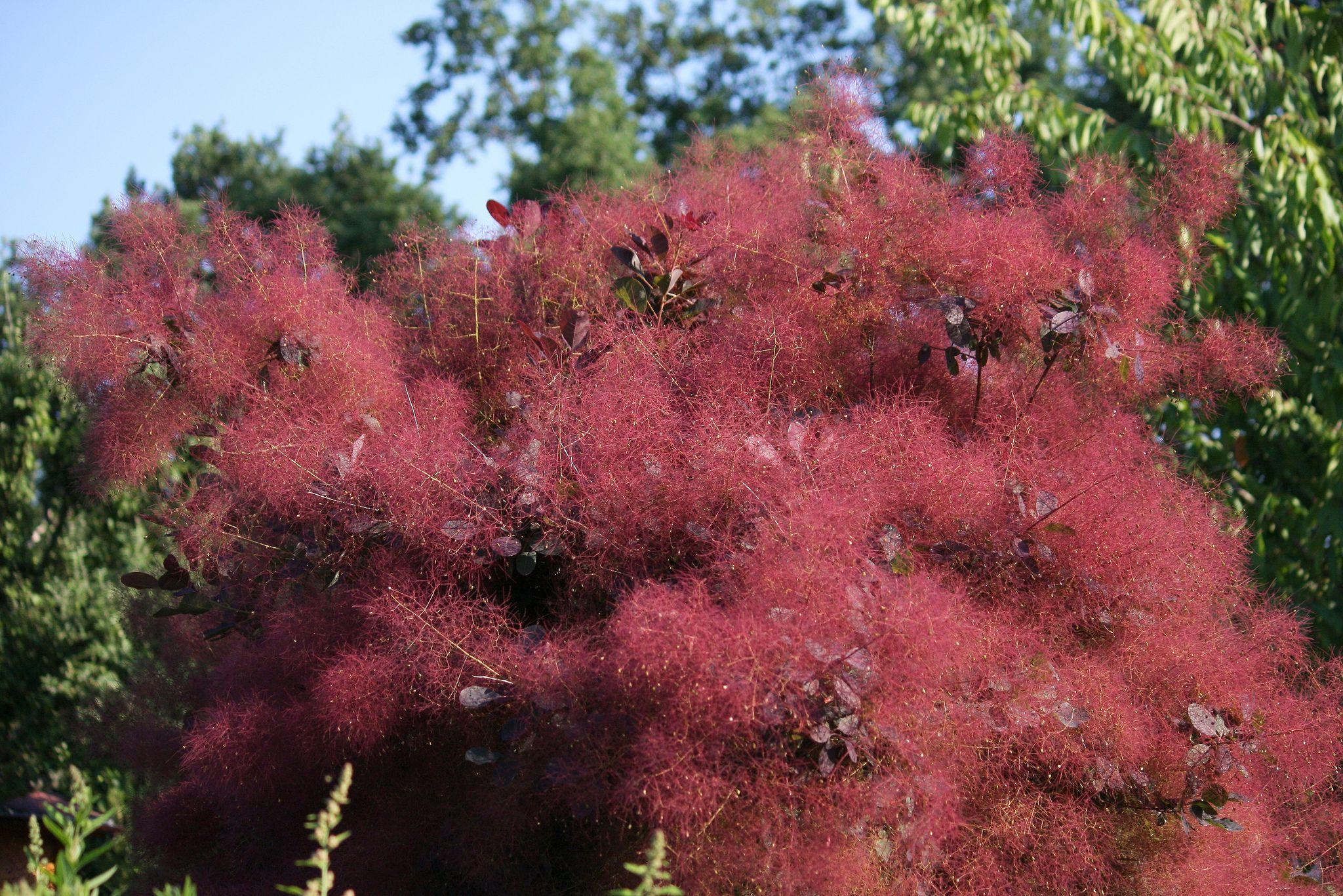 Purple leaf shrub with pink flowers - Purple Leaf Shrub With Pink Flowers 38