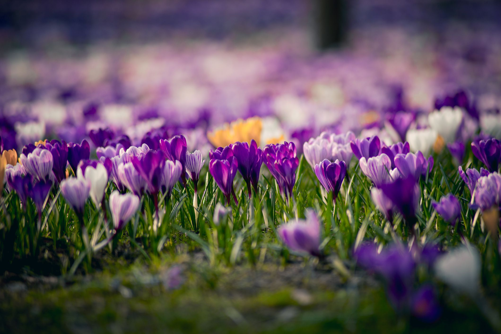 14 Beautiful Crocus Varieties To Plant
