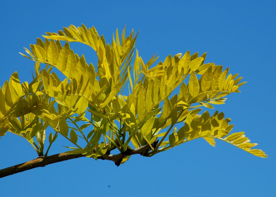 My picture shows Sunburst honeylocust, which bears bright yellow leaves in spring.