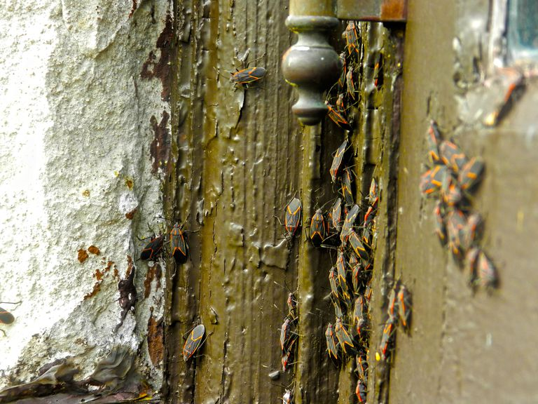 Close-up Of Boxelder Bugs On Wall