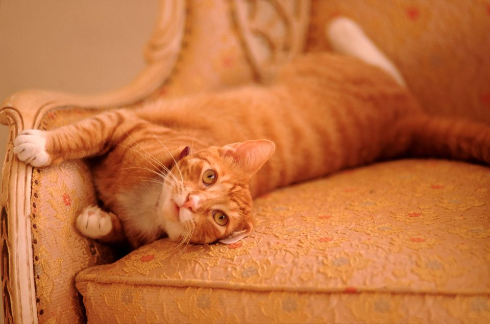 You can bet this tabby cat's dander is on this armchair