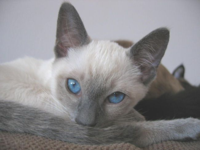 Picture of Ruby, a Siamese Cat