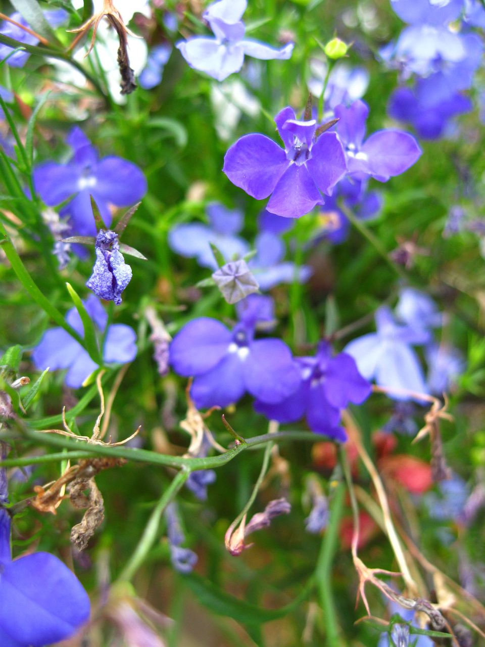 Spiller plant types and what they do the flowers of the lobelia a popular spiller plant paulmcdeecreative commons izmirmasajfo Images