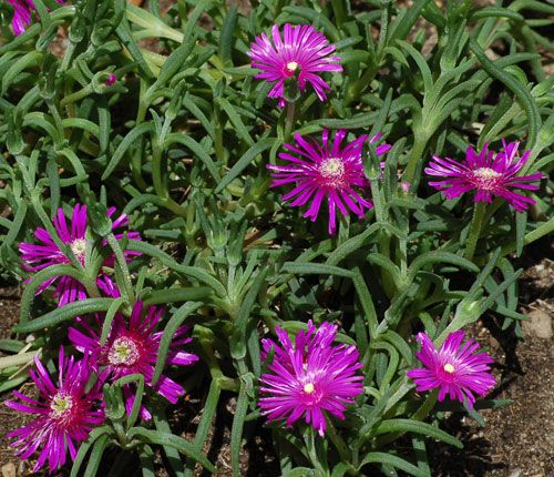 Iceplant is a flowering ground cover. The iceplant in this photo has purple flowers.