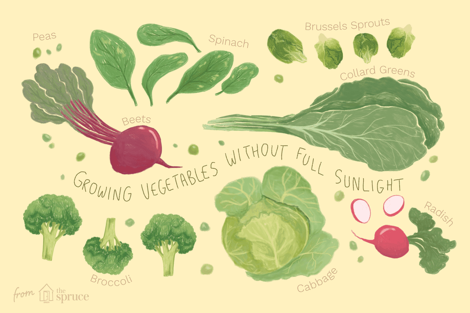 Illustration of beets, broccoli, cabbage, radish, peas, spinach and brussels sprouts