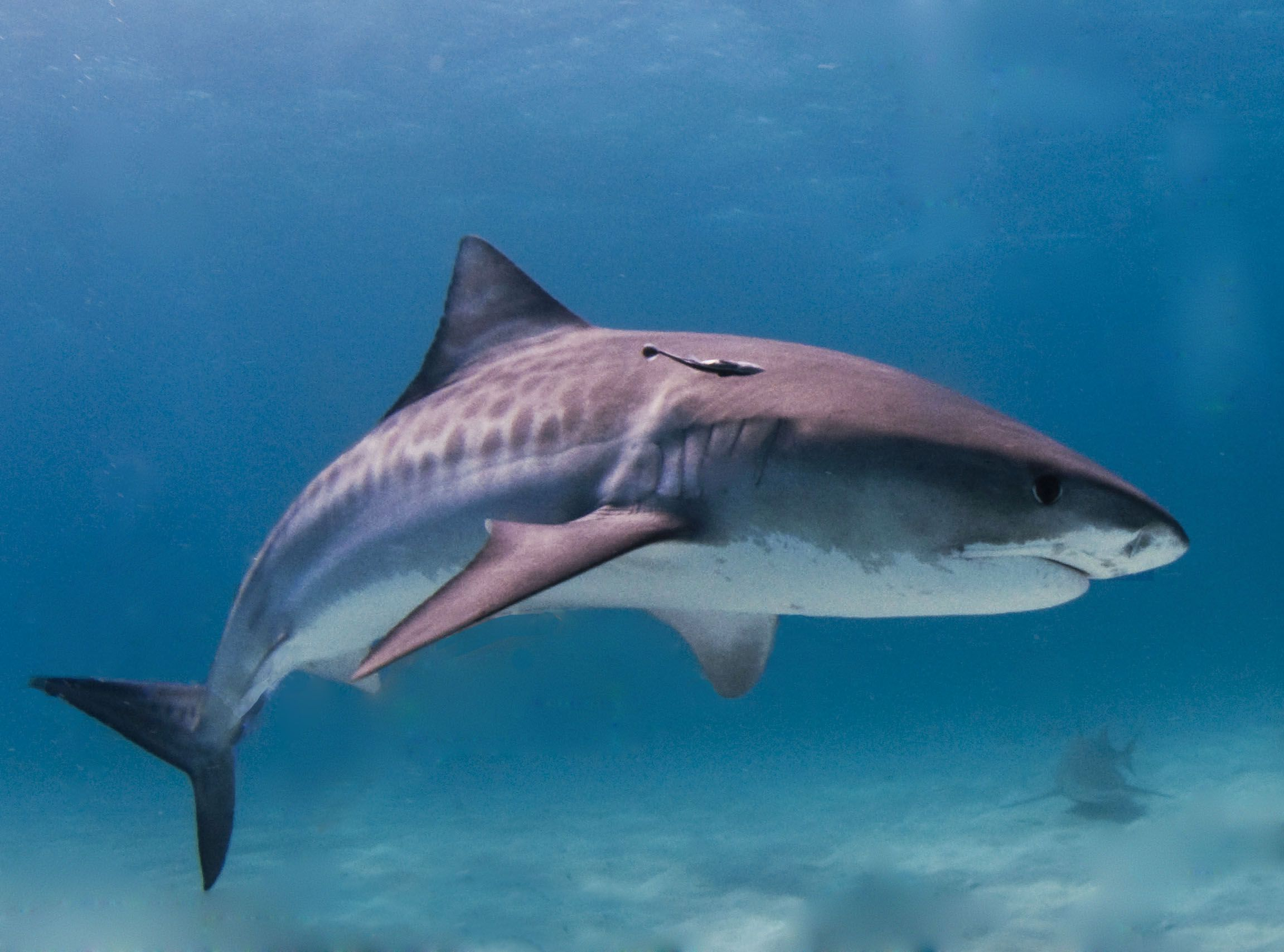 shark swim speed by species shark facts
