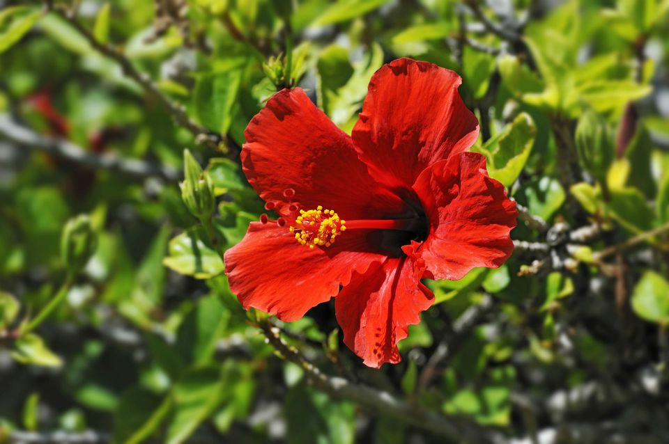 Red Hibiscus flower -Hibiscus-, Windhoek, Namibia