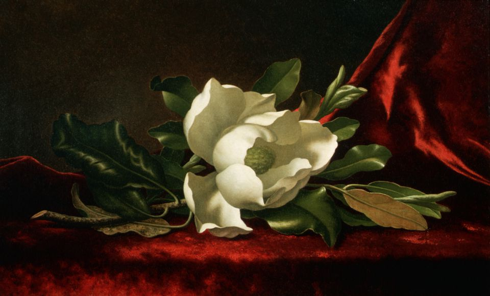 Painting of a Southern magnolia tree flower.