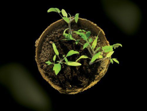 Tomatoes - From Seed or Seedling