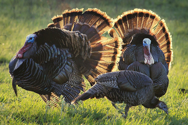 how to attract wild turkeys attract backyard birds