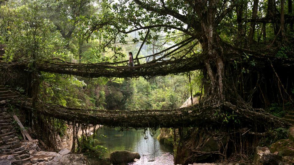 Living tree root bridge in Nongriat Village