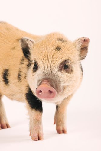 Spotted pot bellied pig on white background
