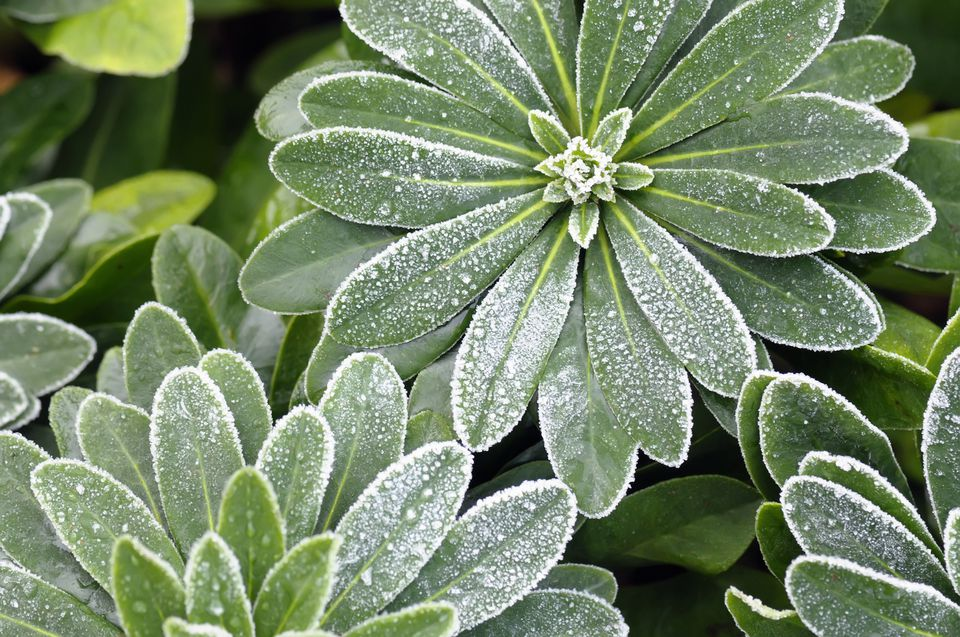 Wood spurge (Euphorbia amygdaloides var. robbiae, syn. E. robbiae) with November frost