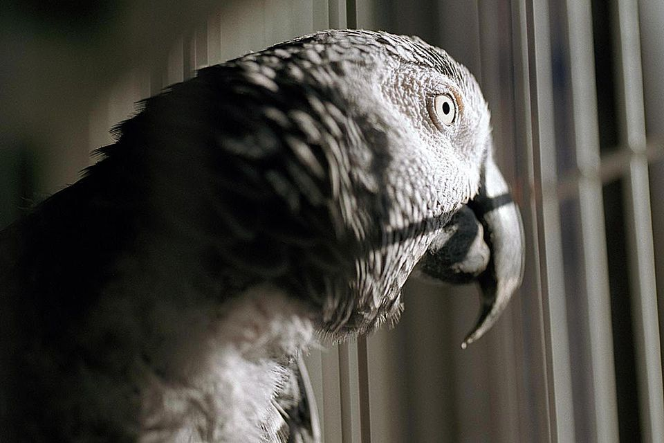 Parrot in cage, close-up