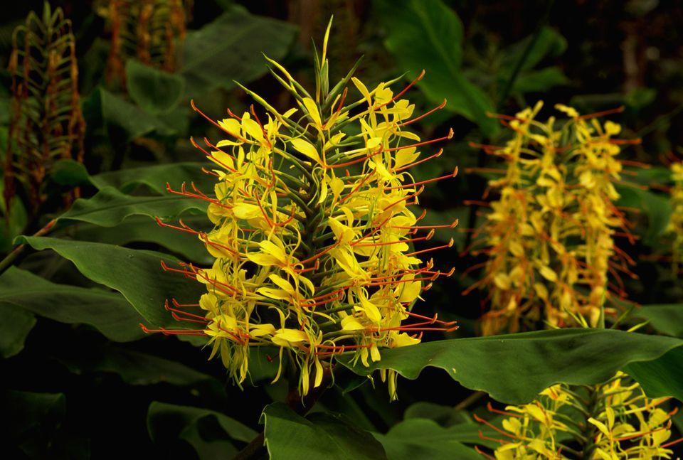 Kahili Ginger Plant