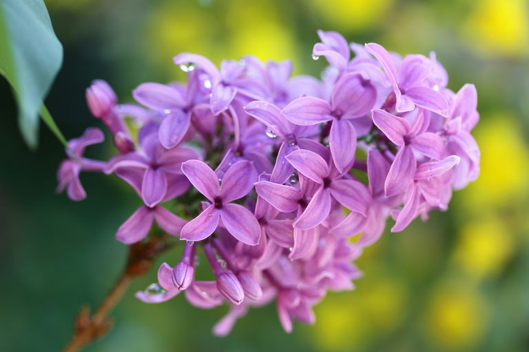 Dew drops on a beautiful purple lilac cluster