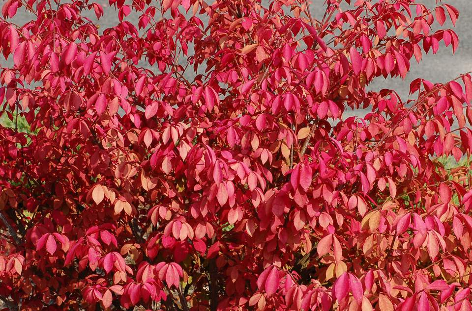 Burning bush with its spectacular fall color.