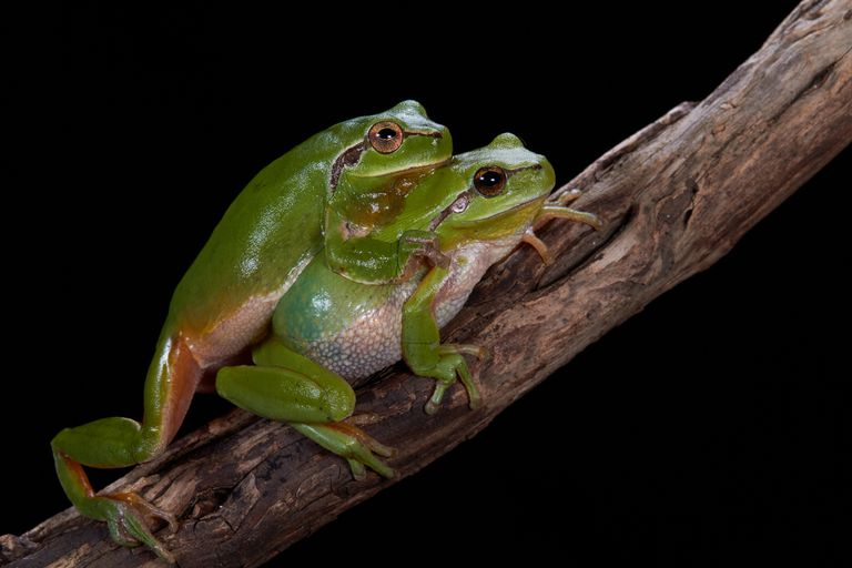 Southern tree frogs mating on black background