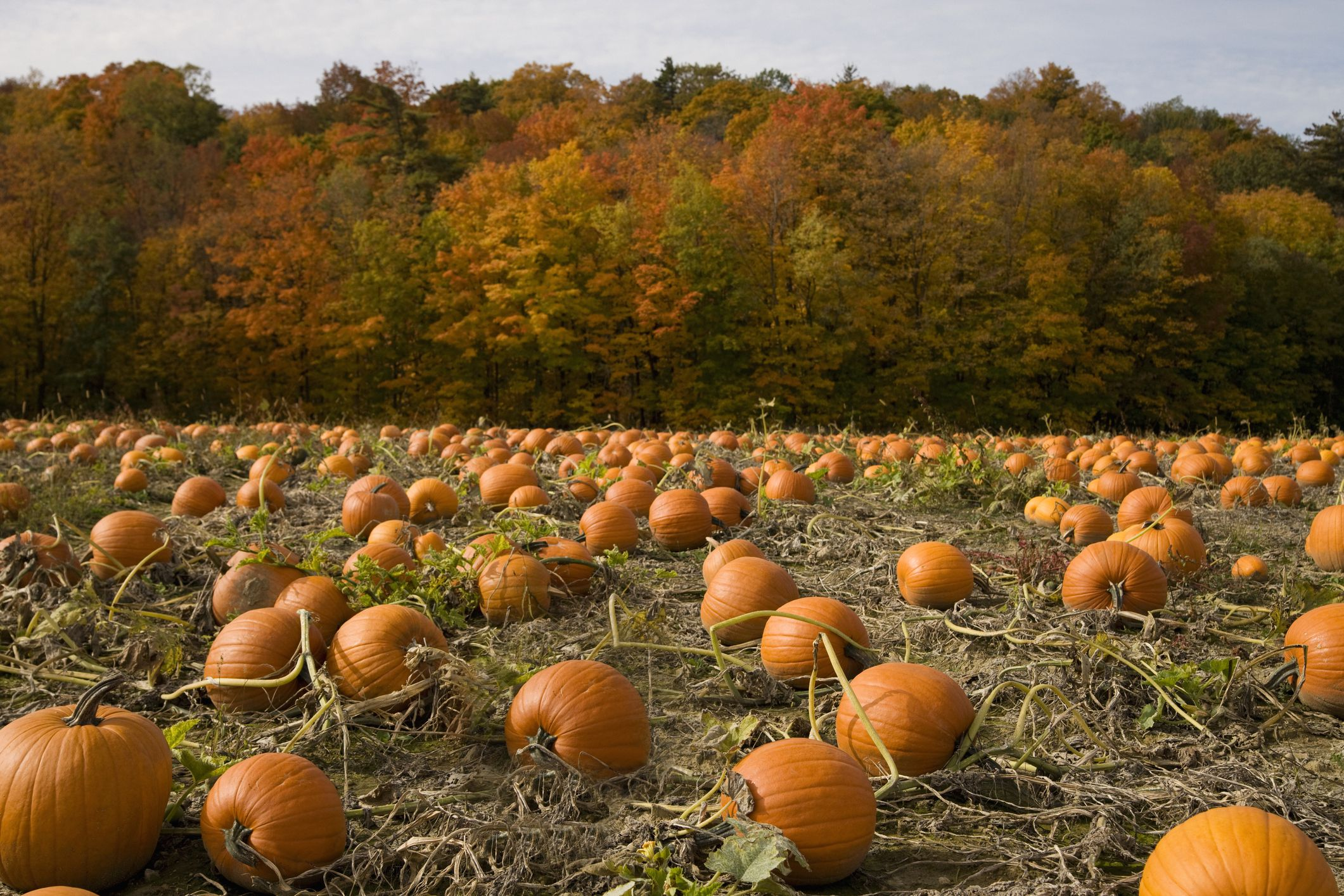 O Brien Auto >> Where to Pick Pumpkins in the St. Louis Area