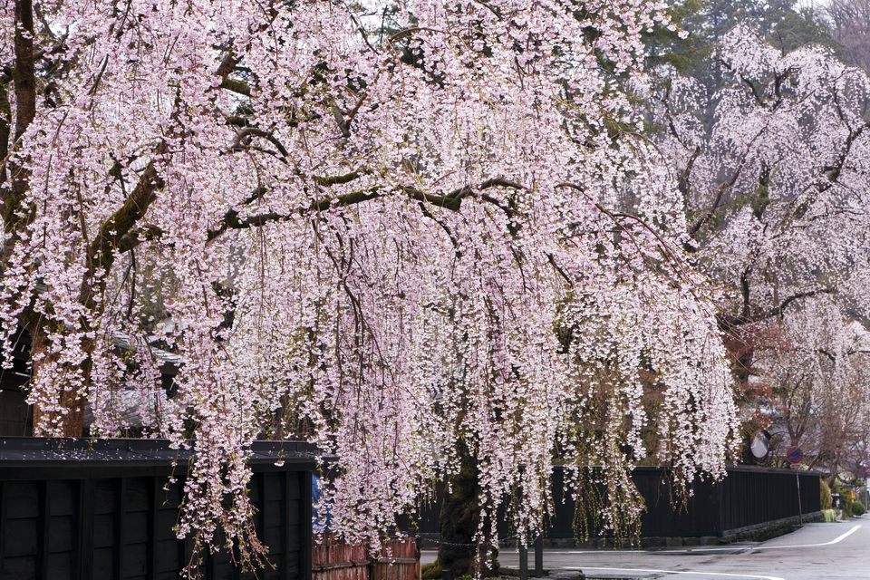 Weeping Cherry Trees With Light Pink Flowers