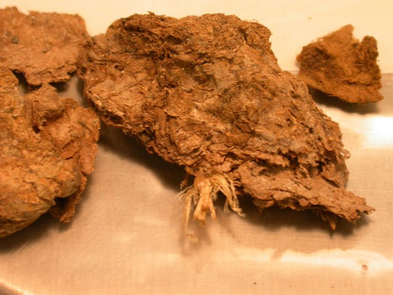 Coprolite from Paisley Cave (Oregon)