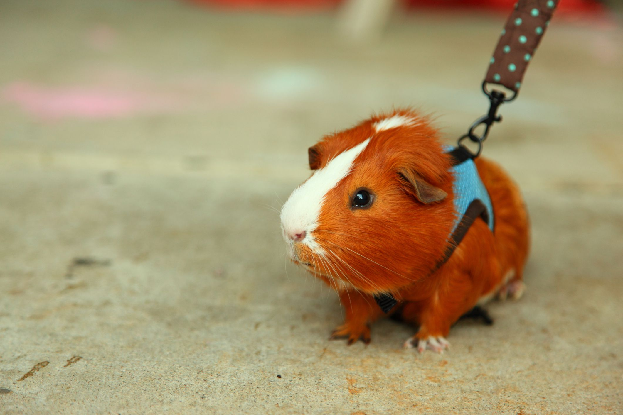owning a guinea pig as a pet Tanya bridgeman with her two pigs, paloma and olaf - and her other pets 'they live in a sty in the summer and a stable in the winter, but seize any opportunity to get into the house to steal food.