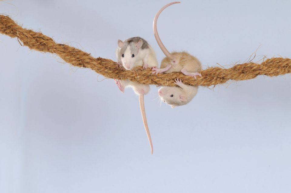 Fancy Rats, husky and cream coloured, climbing on a rope