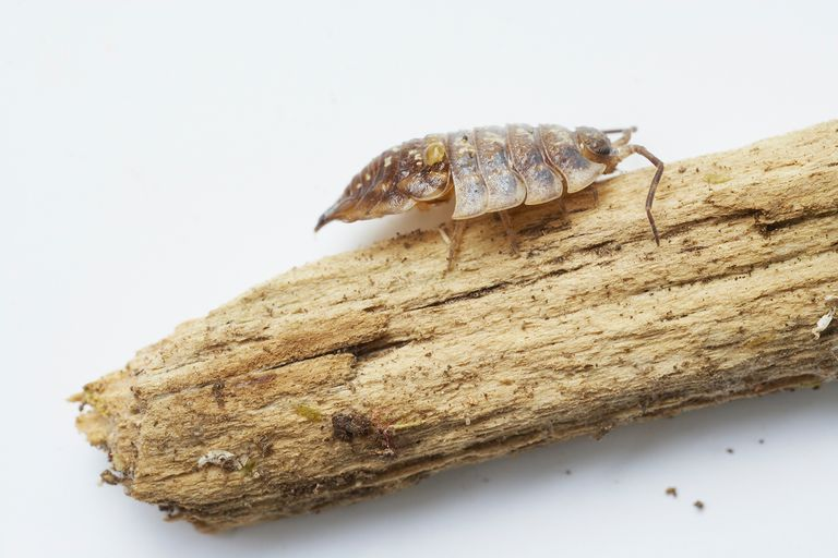 Woodlouse with back half of skin shed and front half still on, perching on piece of wood.