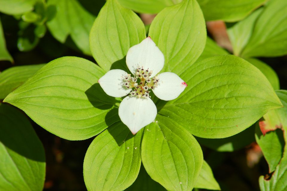 As my photo shows, bunchberry (a type of dogwood) is a short plant, not a tree or shrub.