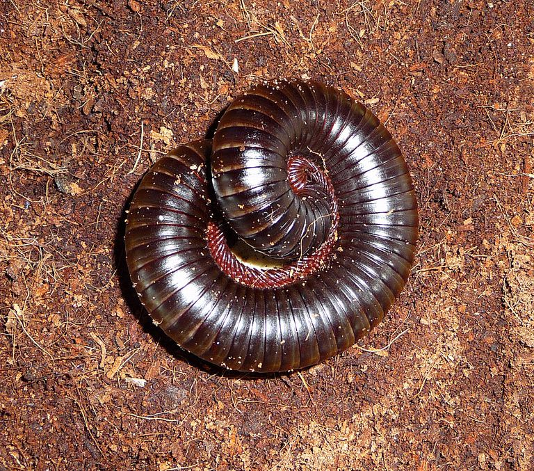 African giant millipede, a popular arthropod pet.