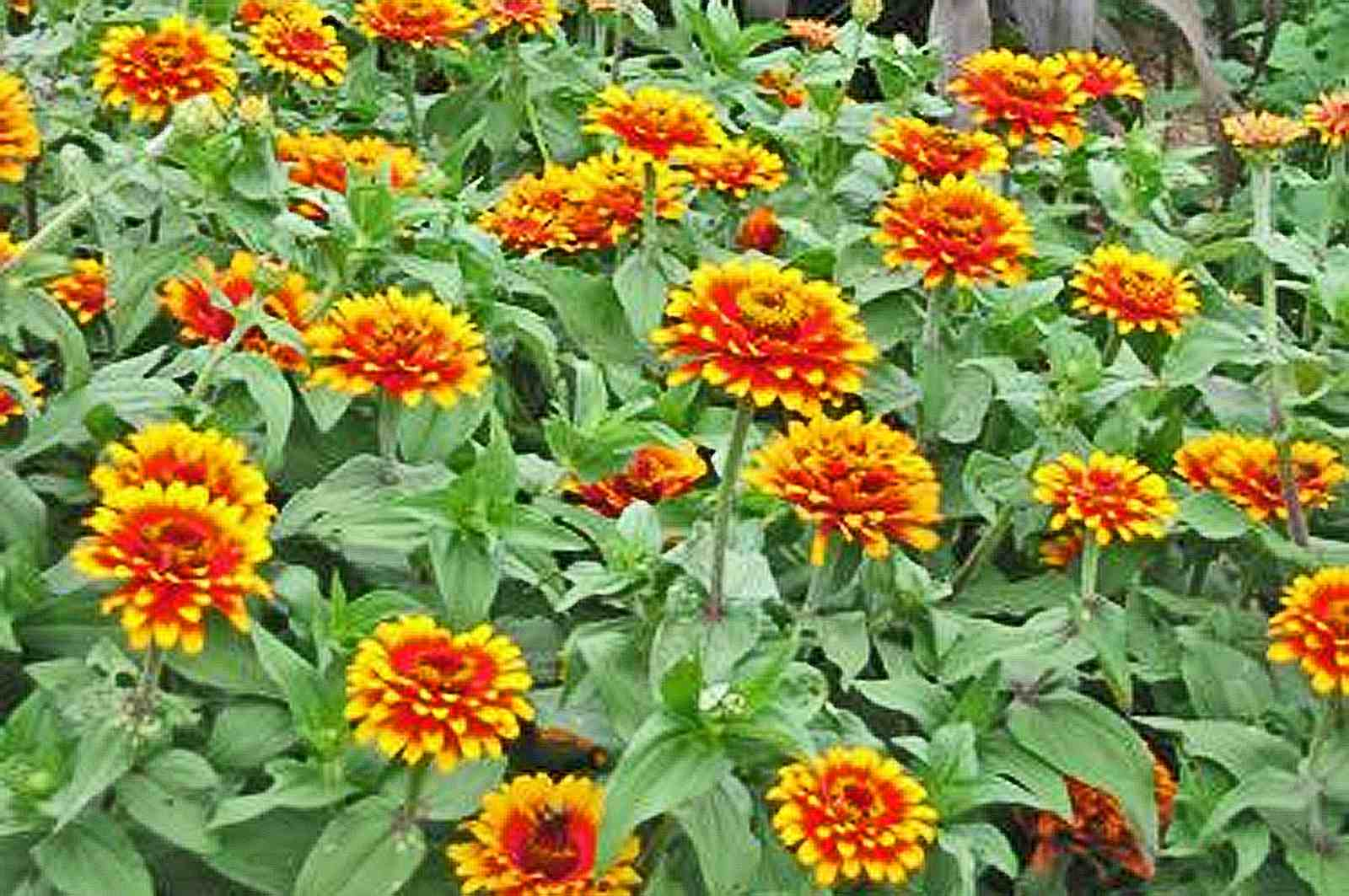 Tips for growing and caring for zinnia plants mightylinksfo Choice Image