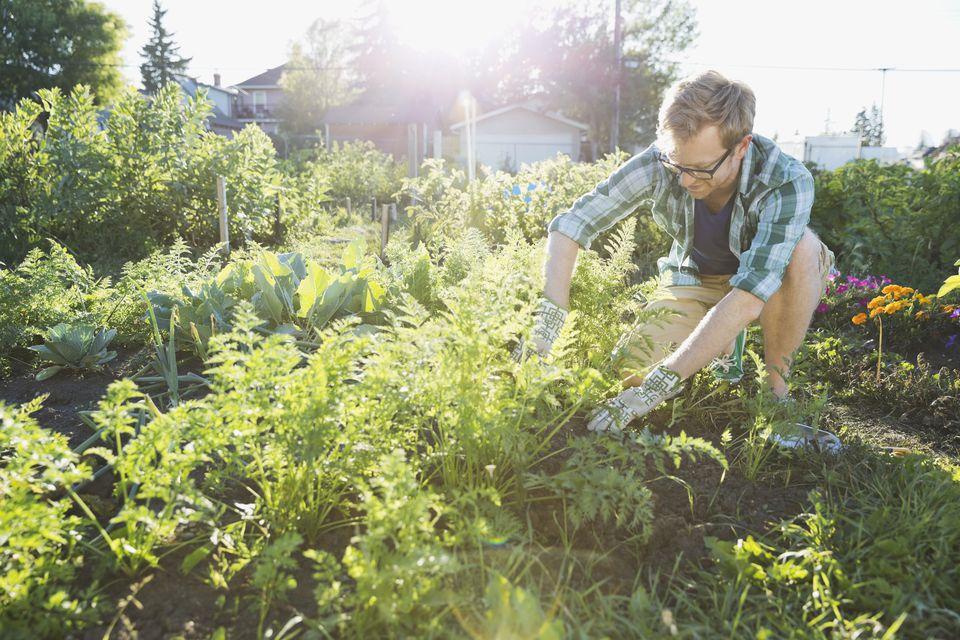 Man harvesting vegetables in community garden