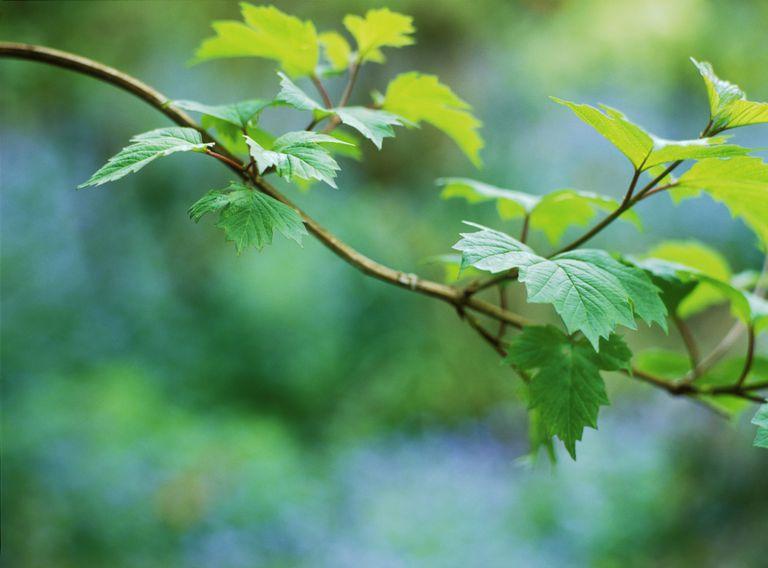 viburnum opulus (cramp bark)