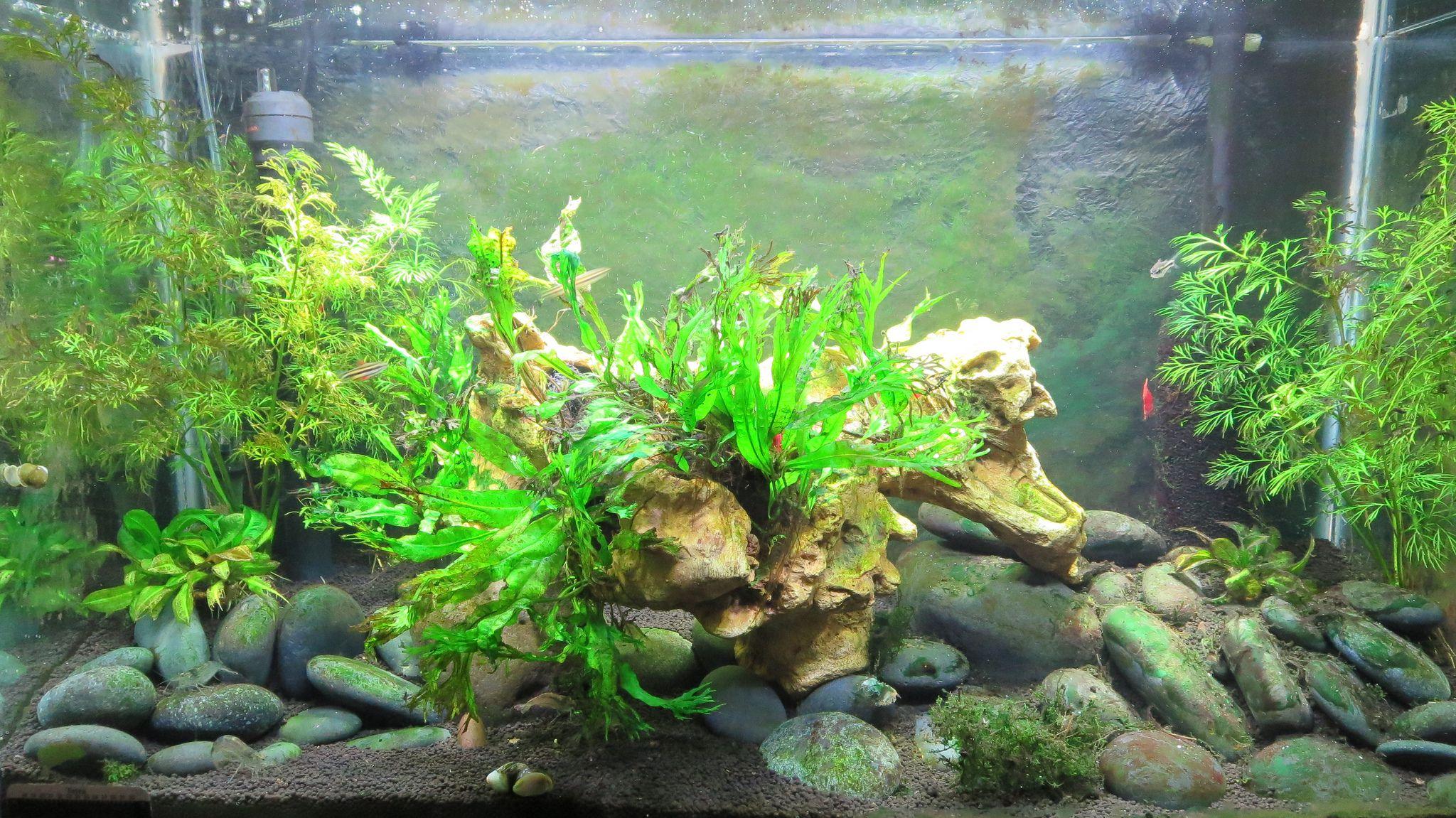 How to control aquarium algae for Fish and plant tank