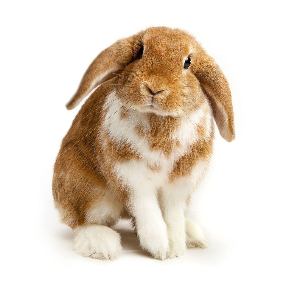 Lop eared rabbit