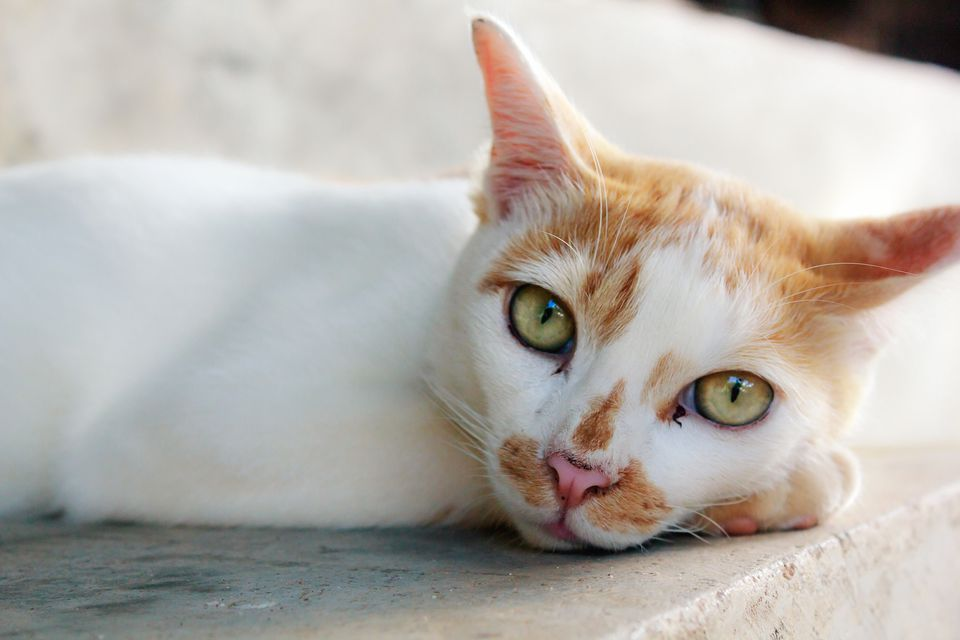 White and orange cat looking at camera up close